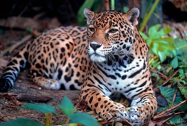 onça-pintada animais da amazônia