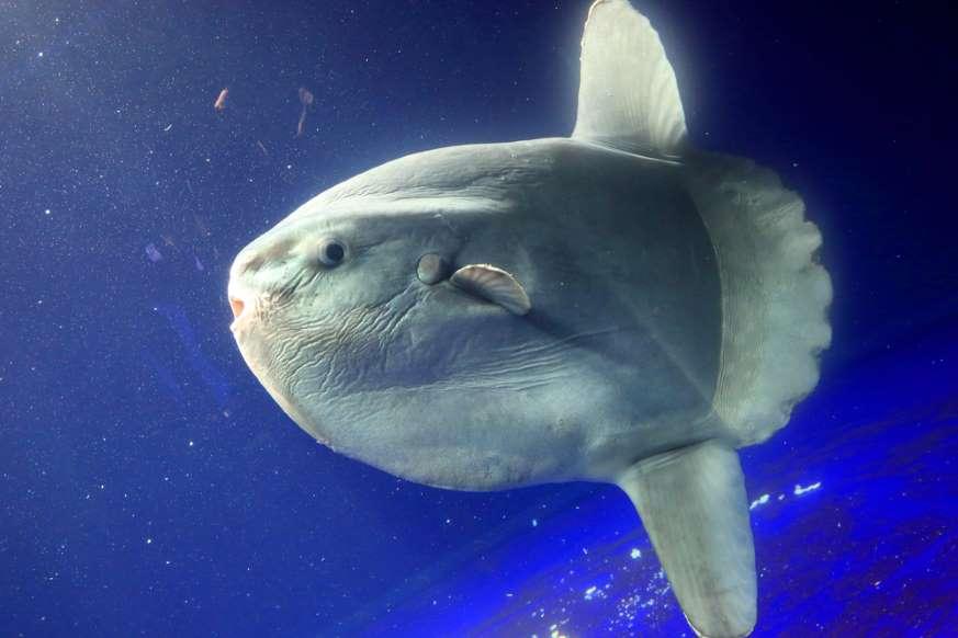 animais marinhos - peixe-lua