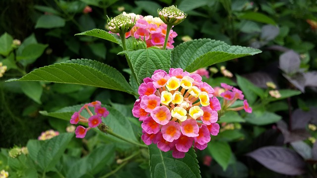 flores que gostam de sol lantana